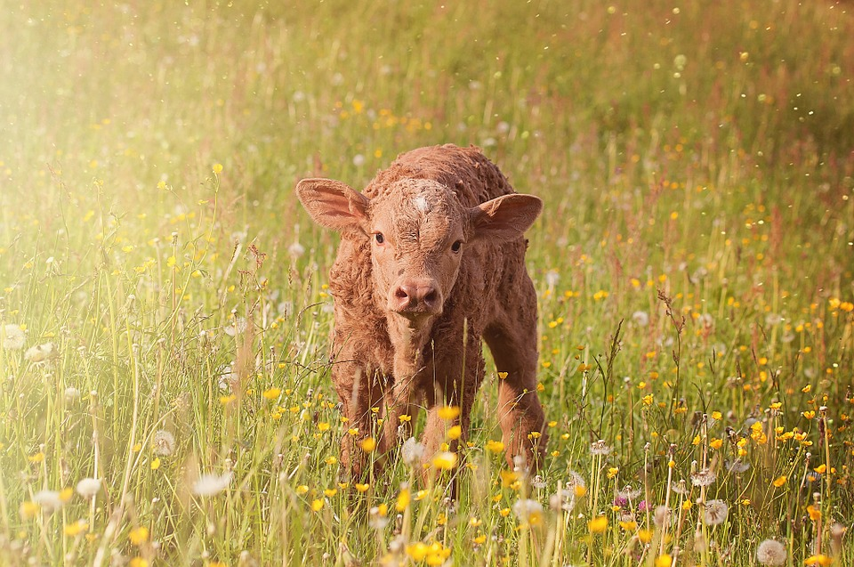 Cow, Calf, Young Animal, Beef, Livestock, Cattle, Grass