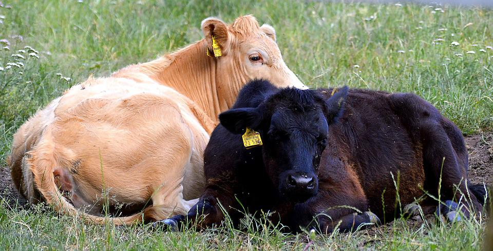 Beef, Calf, Young, Meadow, Agriculture, Cattle, Cow