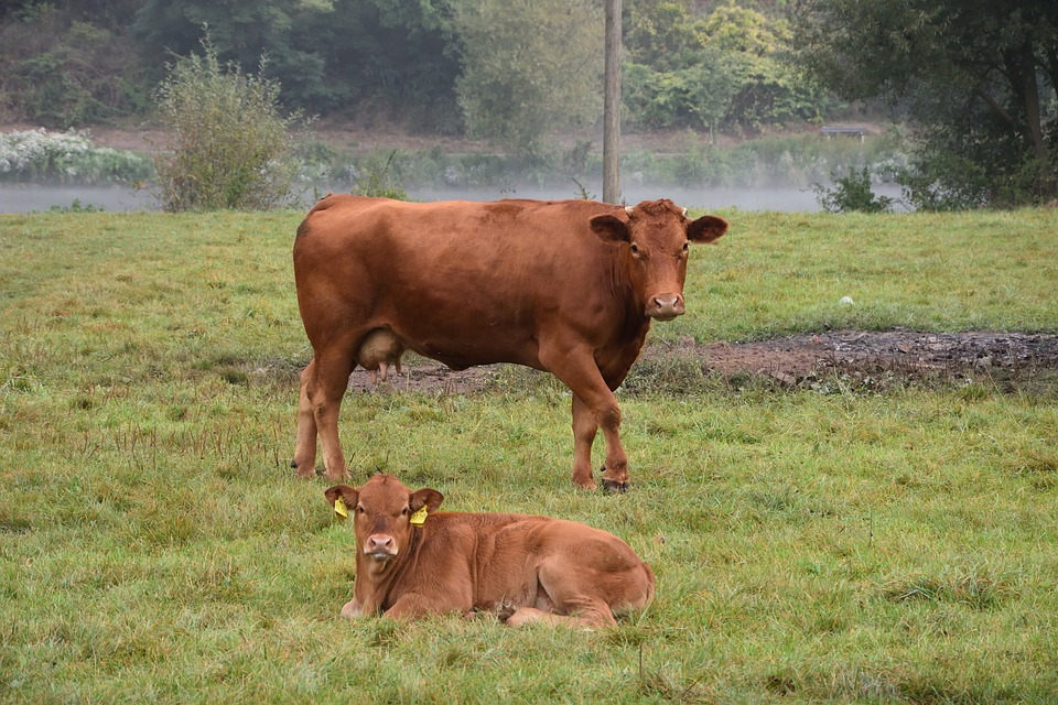 Cow, Calf, Protect, Beef, Agriculture, Nature, Pasture