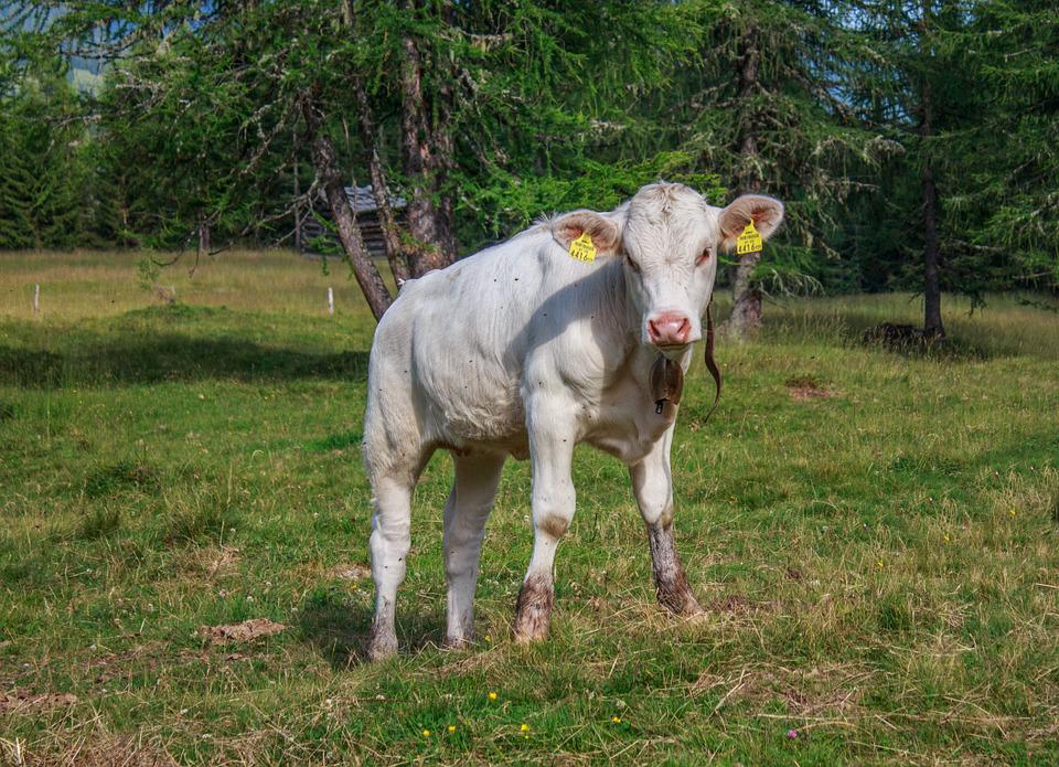 Cow, Calf, Beef, Pasture, Cattle, Livestock, Meadow