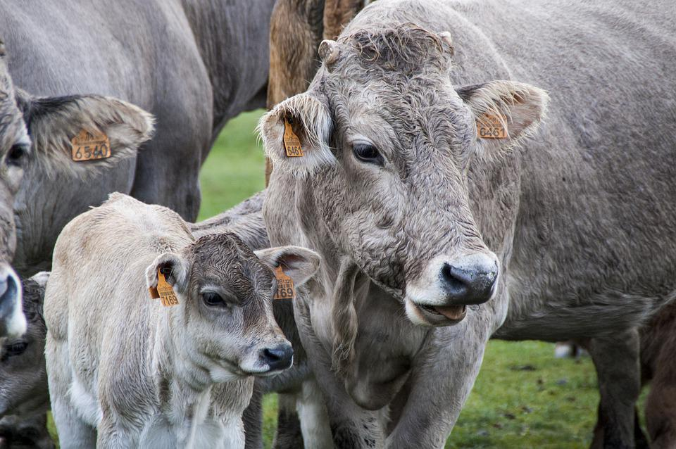 Cow, Veal, Livestock, Calf, Pastures, Cows