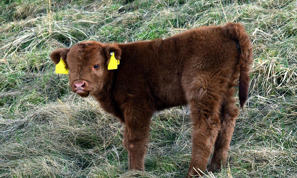 Calf, Galloway, Beef, Cow, Fur, Fluffy, Small, Young