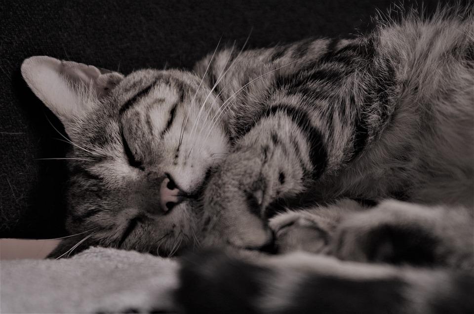 Cat, Calico Cat, Nap, Feline, Domestic Cat