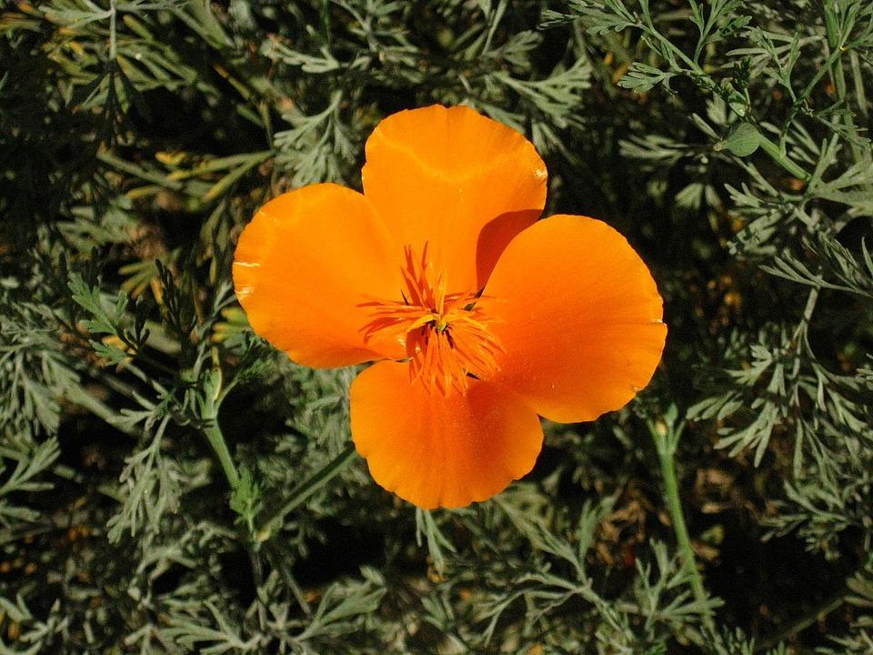 Poppy, Wildflower, Flower, Bloom, California, Native