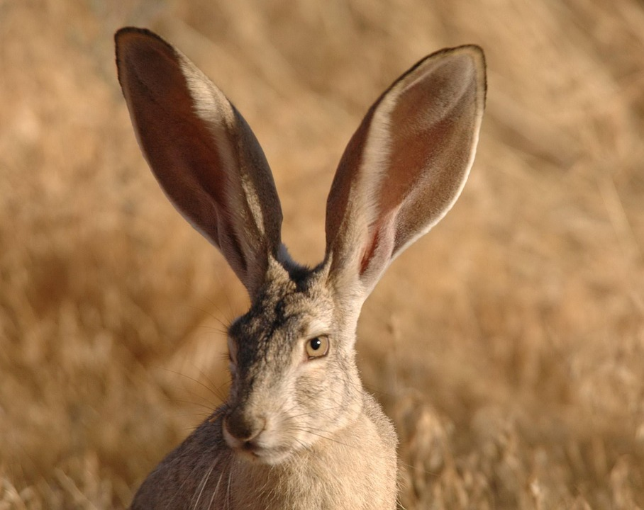 Californicus, Lepus, Jackrabbit, Tailed, Black, Rabbit