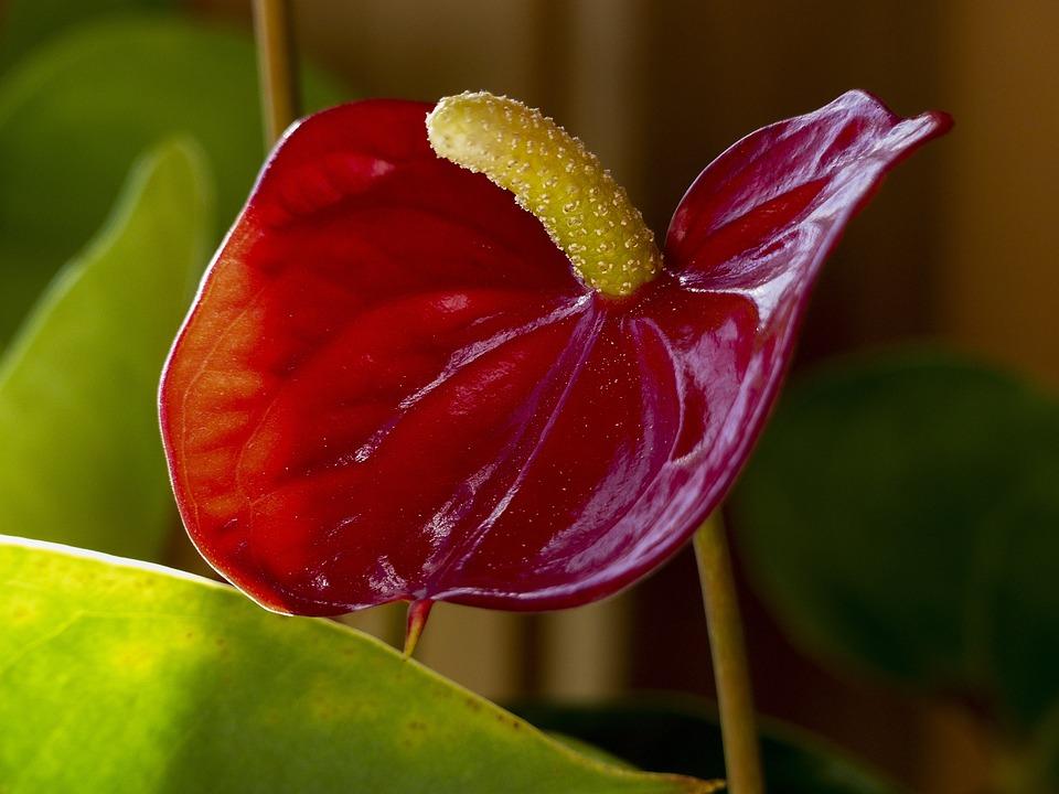 Red, Calla, Flower, Macro, Indoor, Plant, Nature