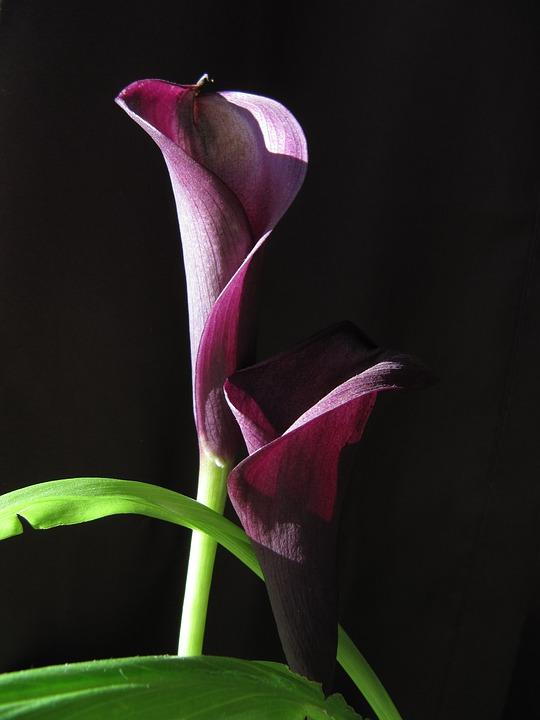 Flower, Calla, Violet