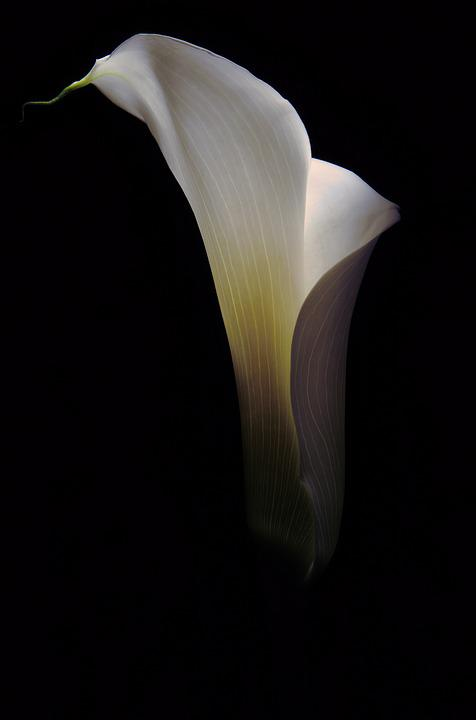 Flower, Calla, Floral, Lily, White, Botany, Botanical