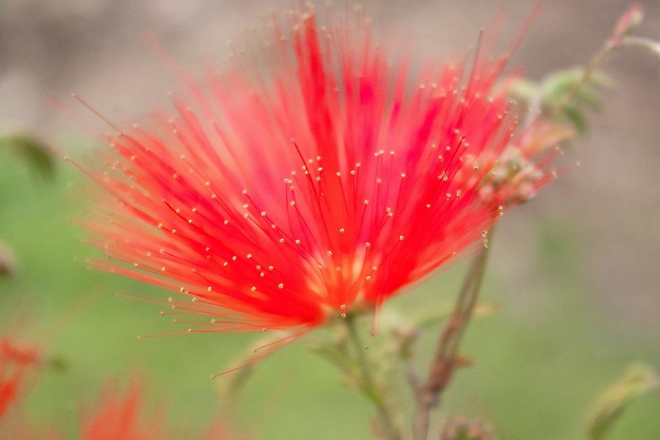 Calliandra, Flower, Red Flower, Hairy Flower, Bloom