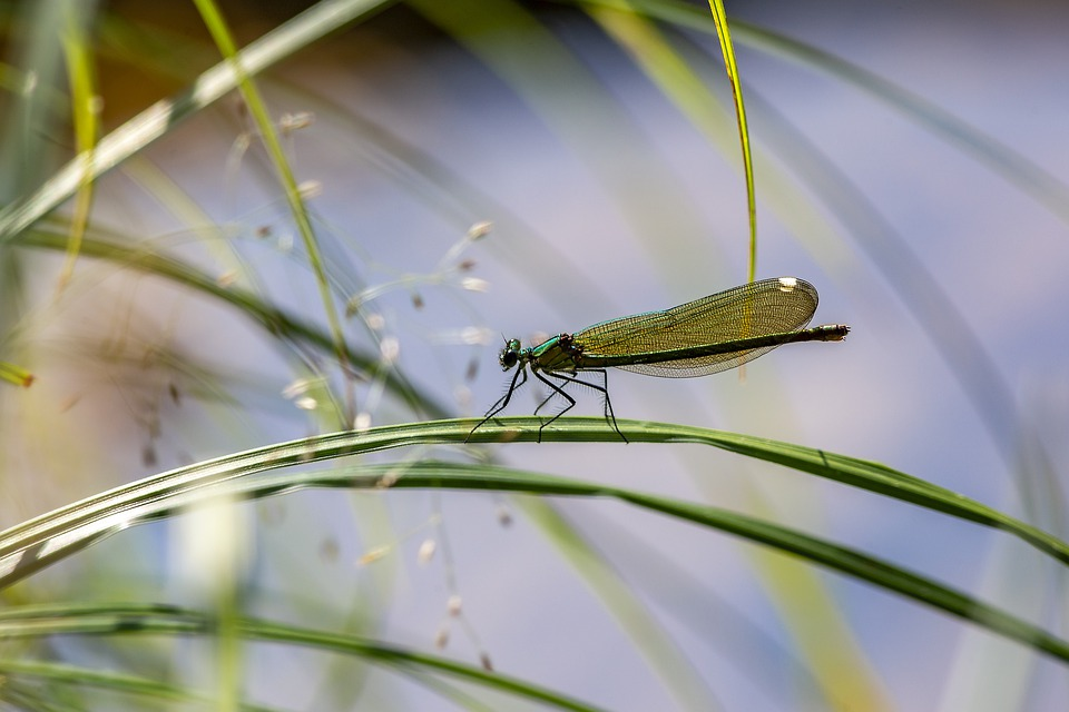 Dragonfly, Insect, Closeup, Grass, Calopteryx Virgo