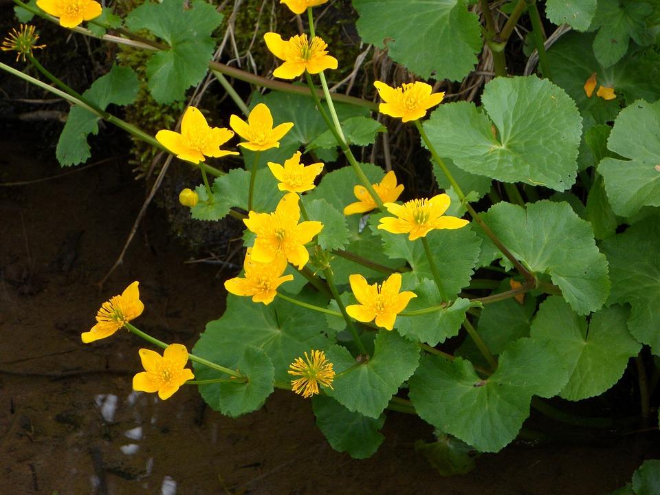 Caltha Palustris, Flowers, Aquatic Plant, Blossom
