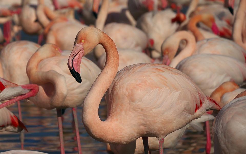 Nature, Flamingos, Birds, Camargue