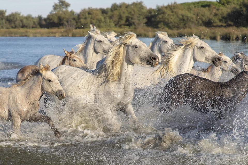 Camargue, Horses, Animals, Nature, White