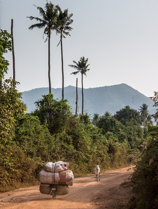 Coconut, Cow, Cambodia, Motorcycle, Nature, Trees