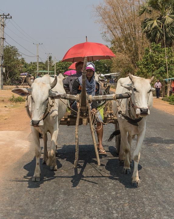 Cambodia, Taxi, Water Buffalo, Vehicle, Cows, Road