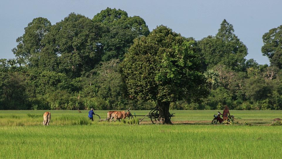Agriculture, Field, Work, Cambodia, Buddhist, Culture