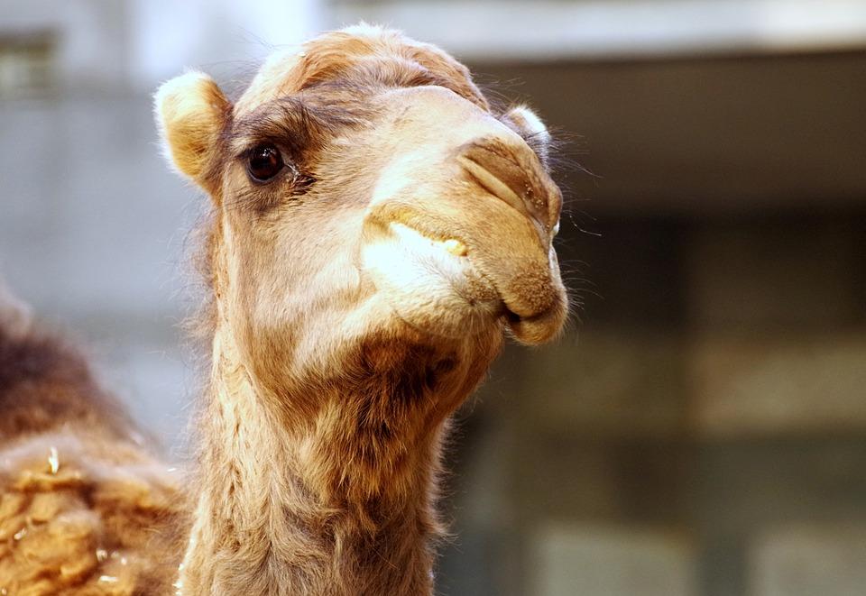 Dromedary, Zoo, Camel, Animal, Desert
