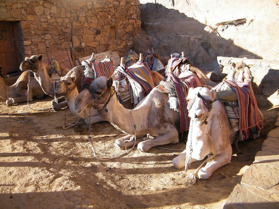 Camel, Egypt, Sinai