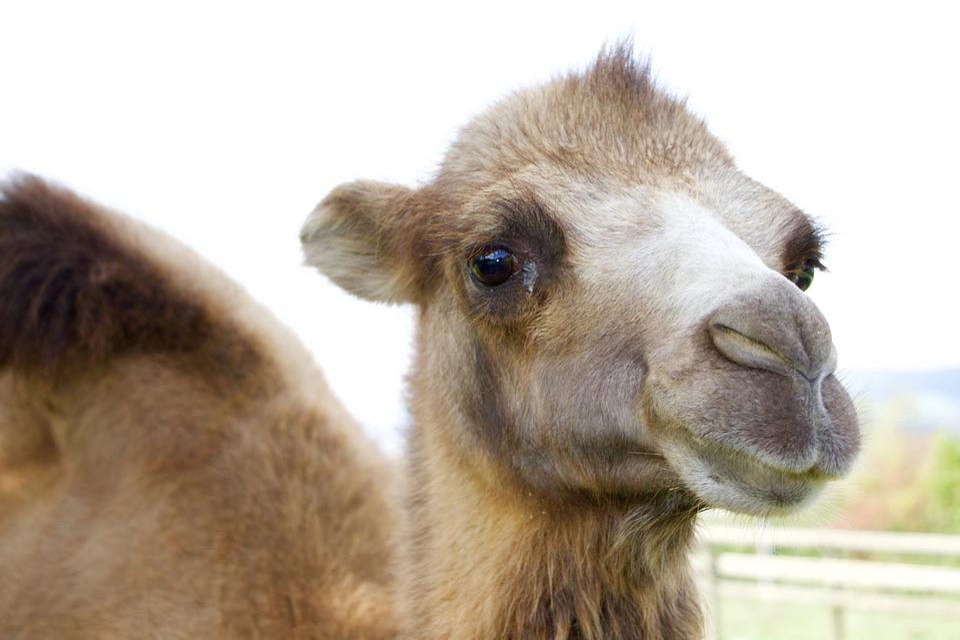 Animals, Camel, Head, Face, Fur