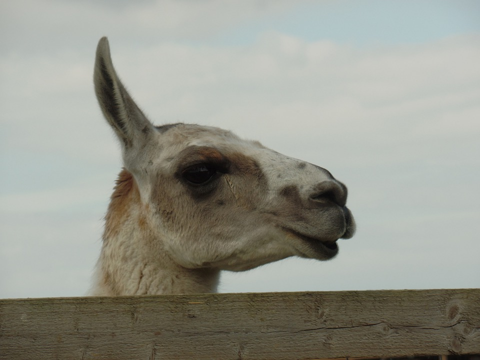 Camel, Animal, Head, Camel Head, Mw Photos, Camels Head