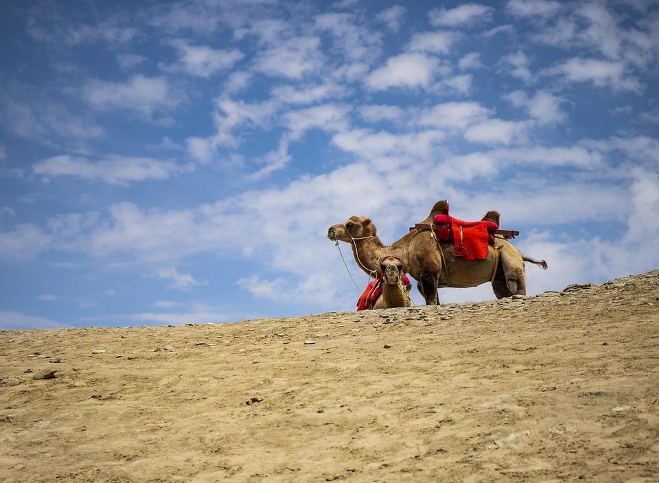 Camel, Desert, Sand, Landscape, Travel, Animal, Camels