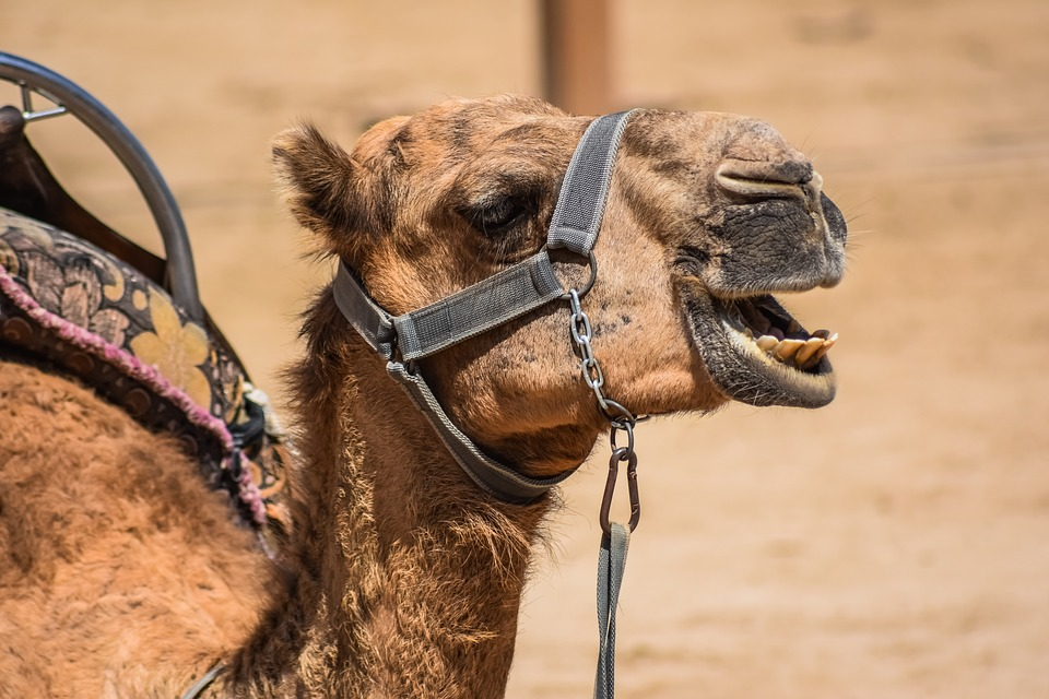 Camel, Head, Animal, Mammal, Portrait, Nature