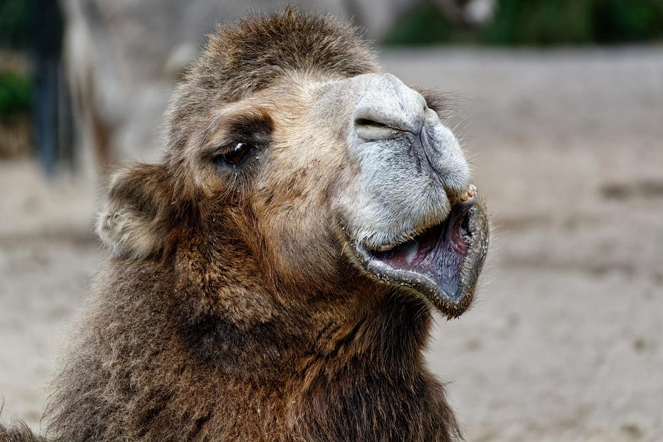 World Animal Day, Camel, Portrait