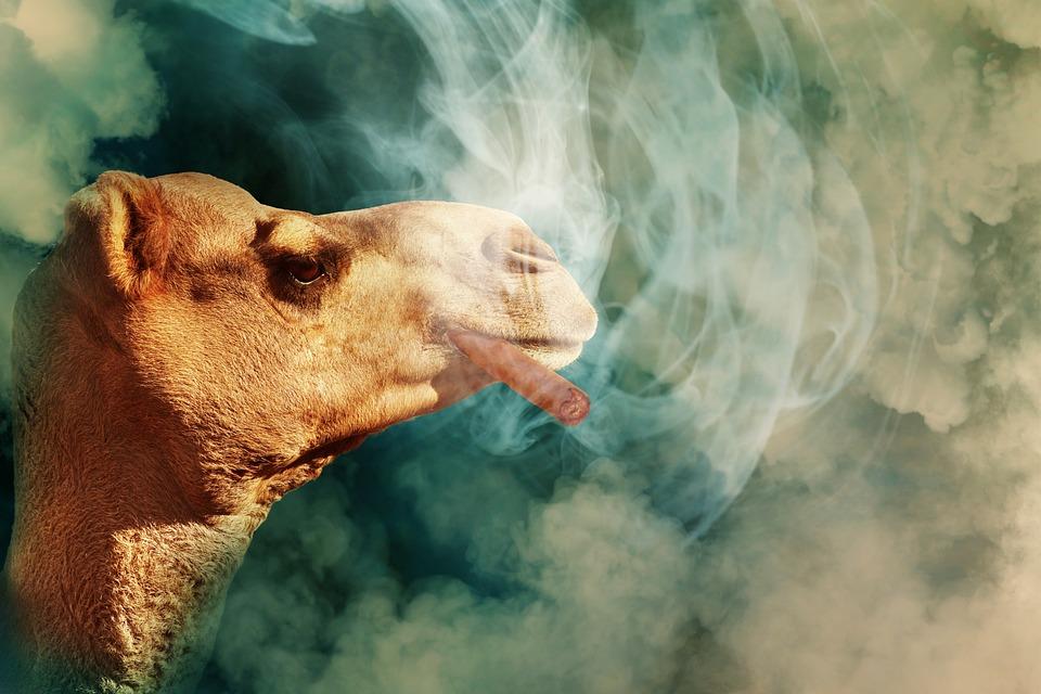 Camel, Cigar, Smoke, Cloud Of Smoke, Smoking, Tobacco