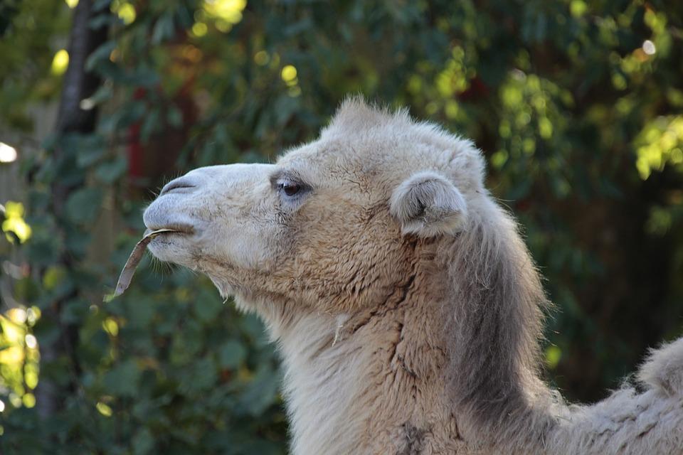 Camel, Nature, Animal, Mammal, Head, Portrait, Zoo