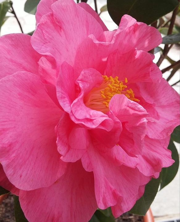 Camelia, Spring, Flower, Before, Bloom, Plants, Flowers