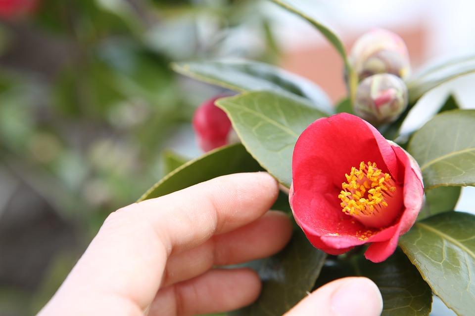Flowers, Camellia Flower, Geoje, Travel, Spring