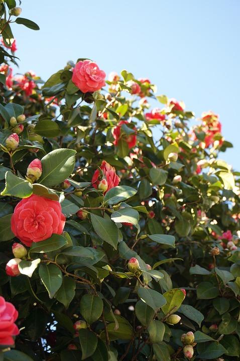 Camellia, Flowers, Blue Sky