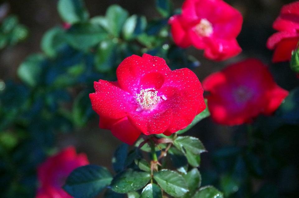 Camellia, Red Flowers, Flowers, Red