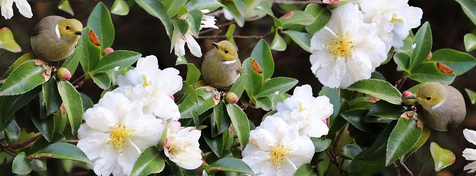 Birds, Honey Eaters, Flowers, White, Camellias, Shrub