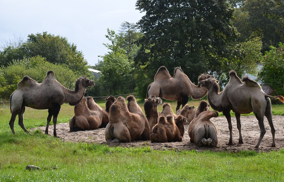 Camels, Zoo, Safari, Animal, Mammal, Nature