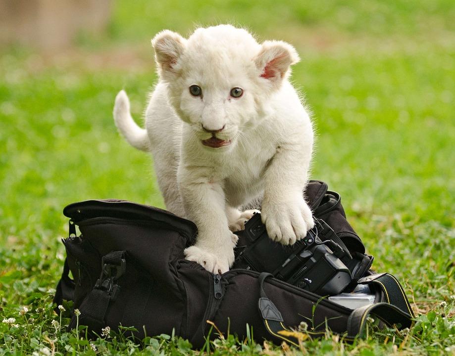 Lion White, Cub, Baby, Cute, Camera, Bag, Explore