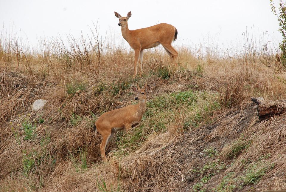 Deer, Fauna, Mammal, Camouflage, Hill, Landscape