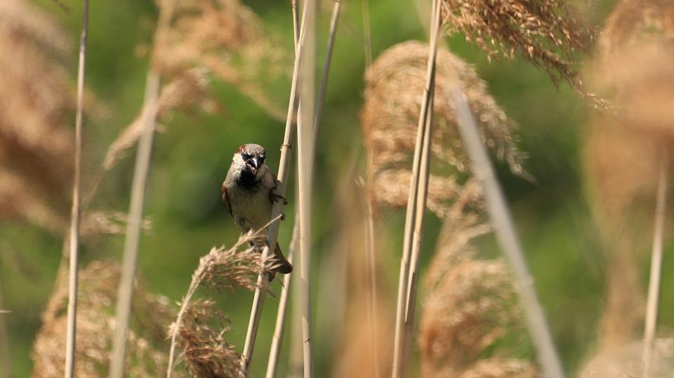 Reed, Bird, Sparrow, Bank, Animal, Camouflage, Lake