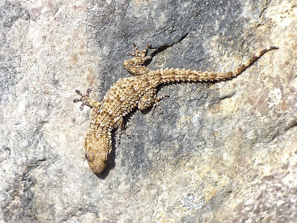 Gecko, Rocks, Texture, Dragon, Camouflage, Reptile