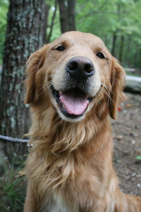 Free Photo Camping Dog Golden Lab Labrador Golden Retriever Max Pixel