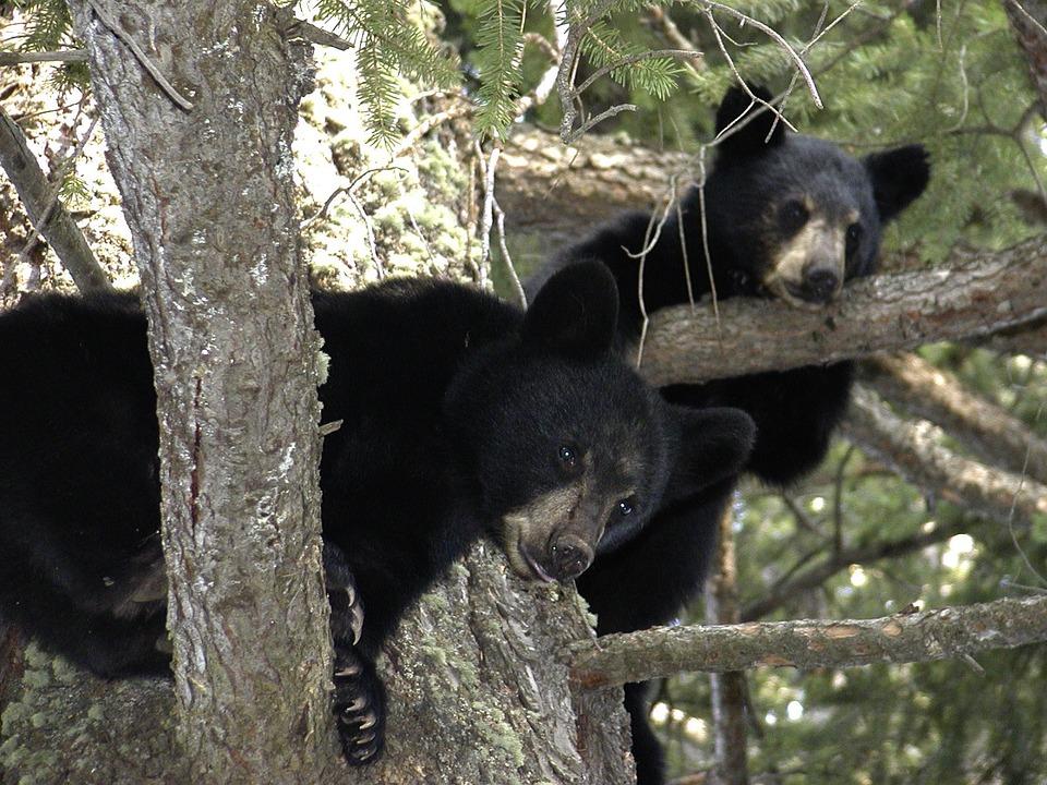 Bear Cubs, Animal, Black, Tree, Branch, Canada