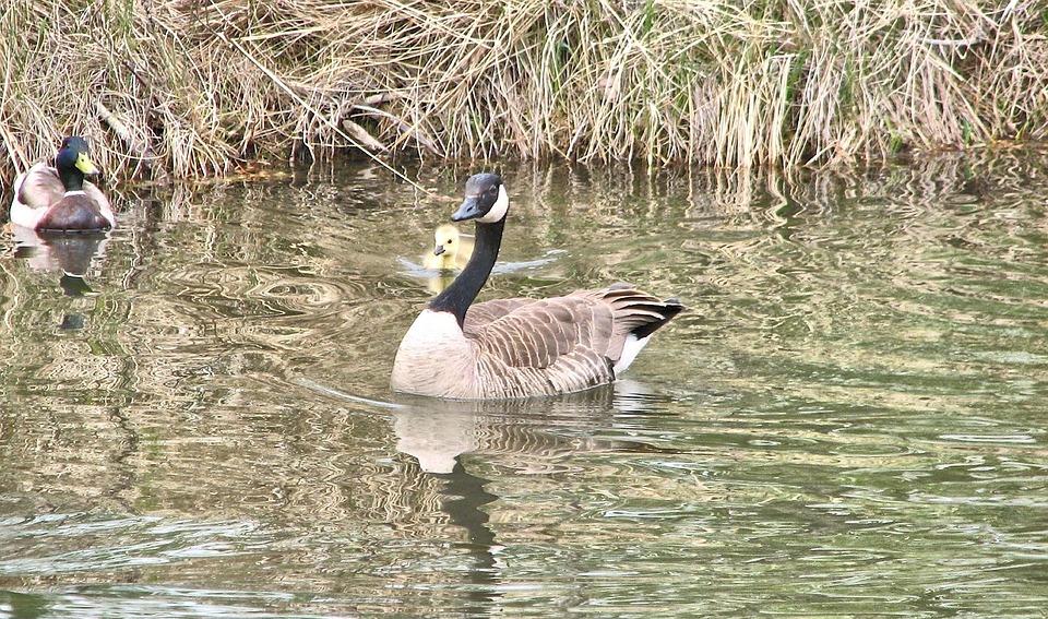 Canada Geese, Gosling, Sanctuary, Canada