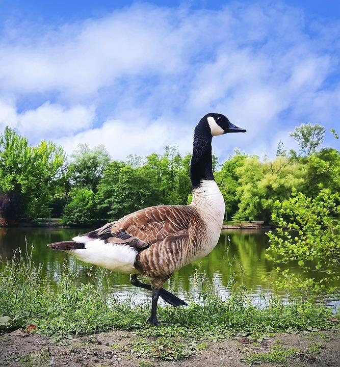 Bird, Canada Goose, Goose, Nature, Water, Plumage