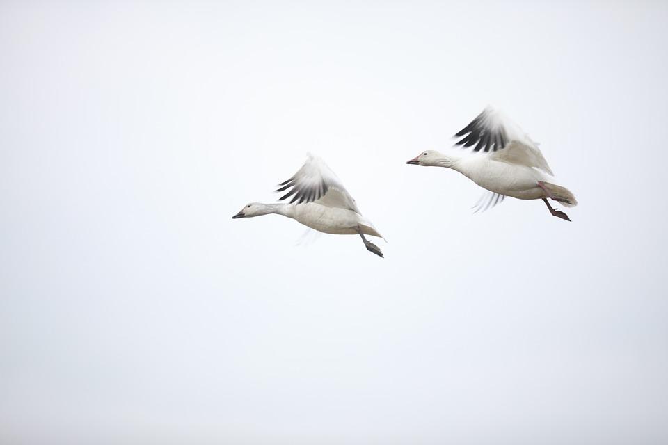 Fly, Canada Goose, Conjugal Love, Always