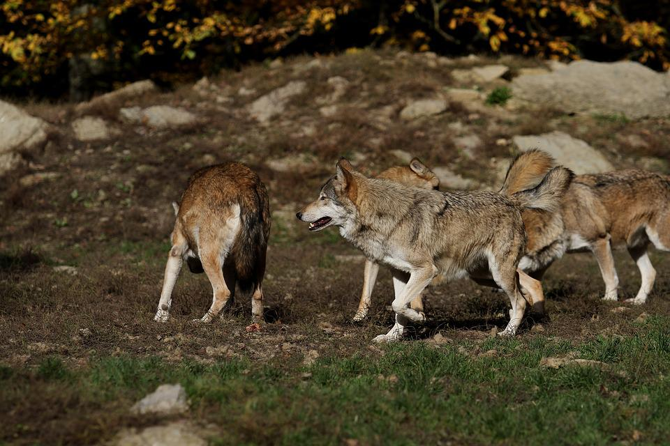 free photo canada pack timber wolves wolves predator max pixel