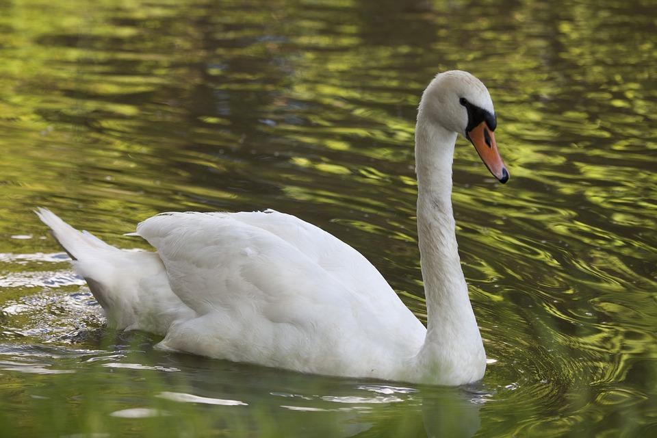 Swan, Bird, Canal, Grace, Nature, Animal, Wildlife