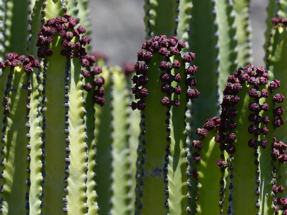Canarian Spurge, Plant, Euphorbia Canariensis, Spurge