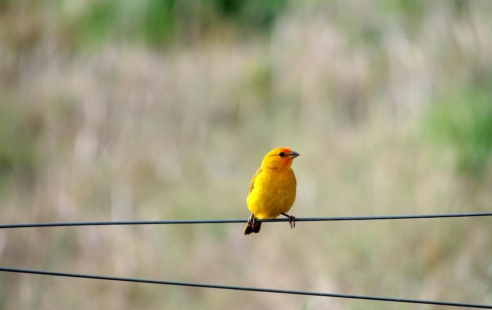 Canary, Bird, Nature, Tropical Birds