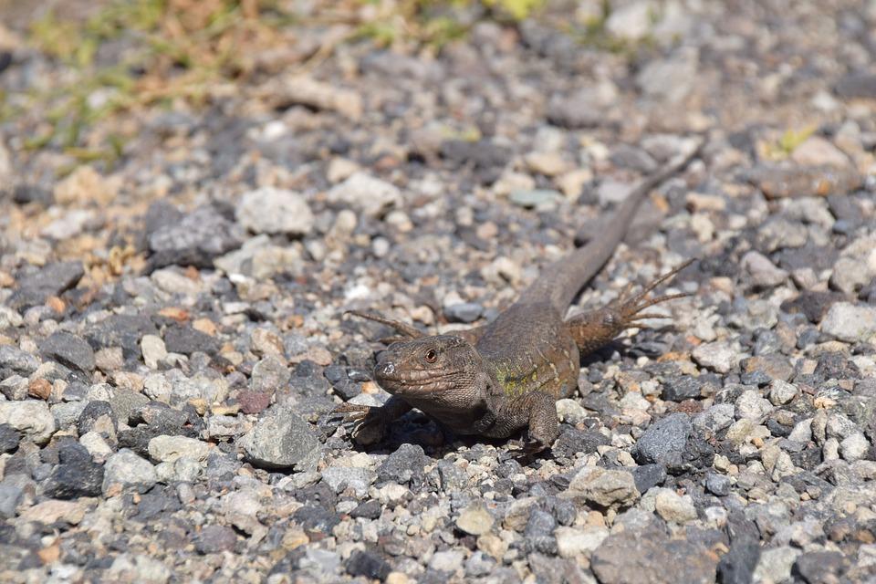 Lizard, Canary Islands, Tenerife, Animal, Reptile