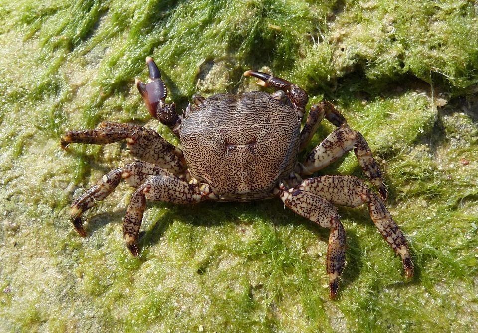 Square Crab, Crab, Cancer, Pachygrapsus Marmoratus